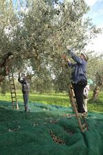 Olivebatake
